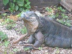 blue-iguana-282b7
