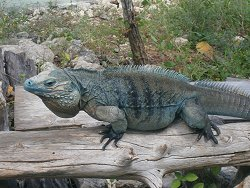 blue-iguana_182b7